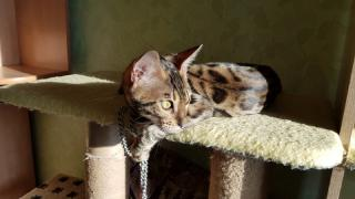 Exclusive Bengal kittens Lviv