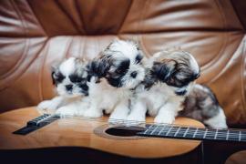 """Puppies Shih Tzu litter """"T"""" nursery """"CUORE DI LIONE"""""""