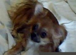 Вязка: кобель чихуахуа